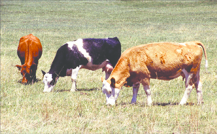 Cattle Grazing - Photo by USDA Agricultural Research Service