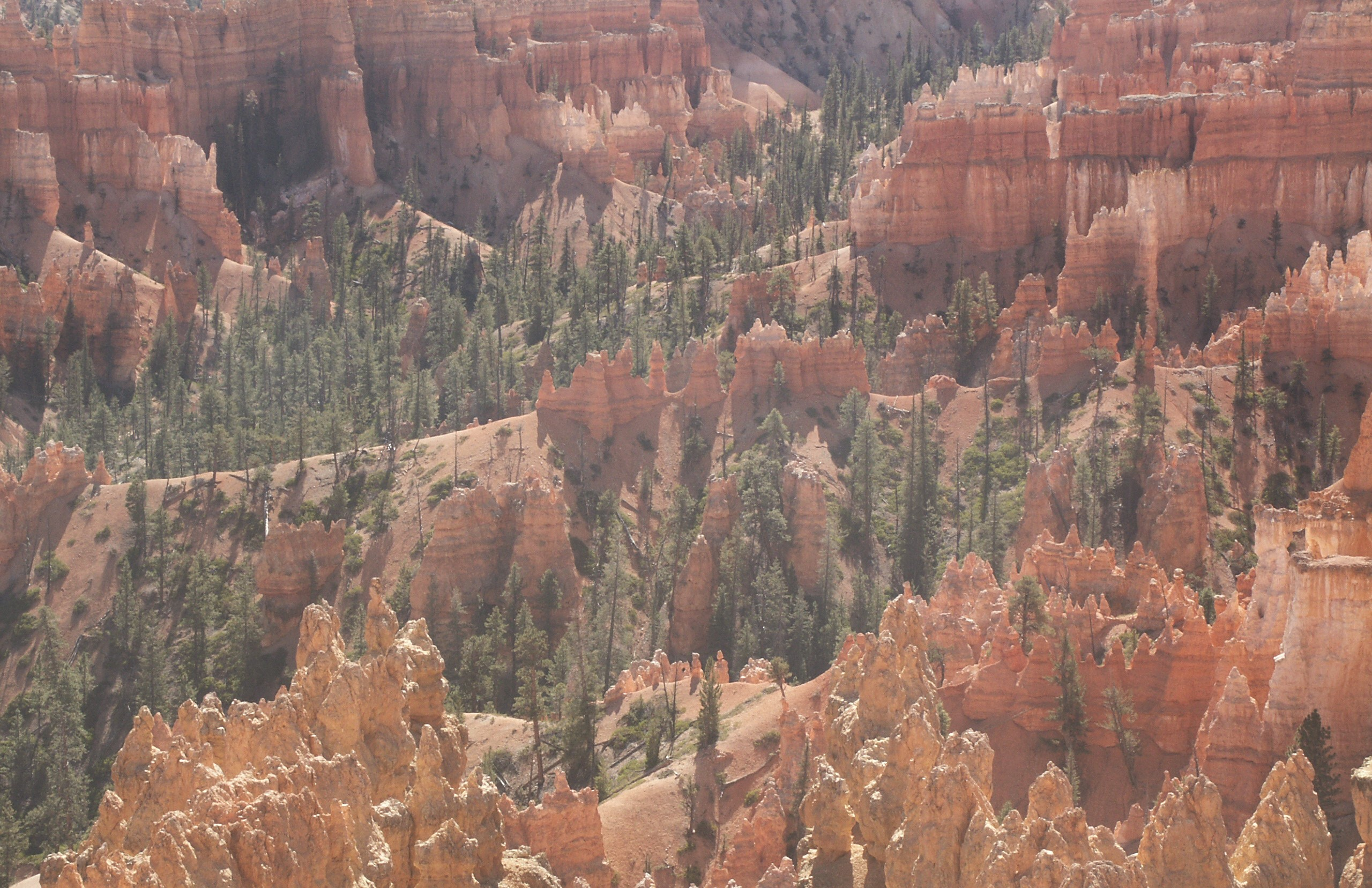 Ponderosa pine in Bryce Canyon National Park