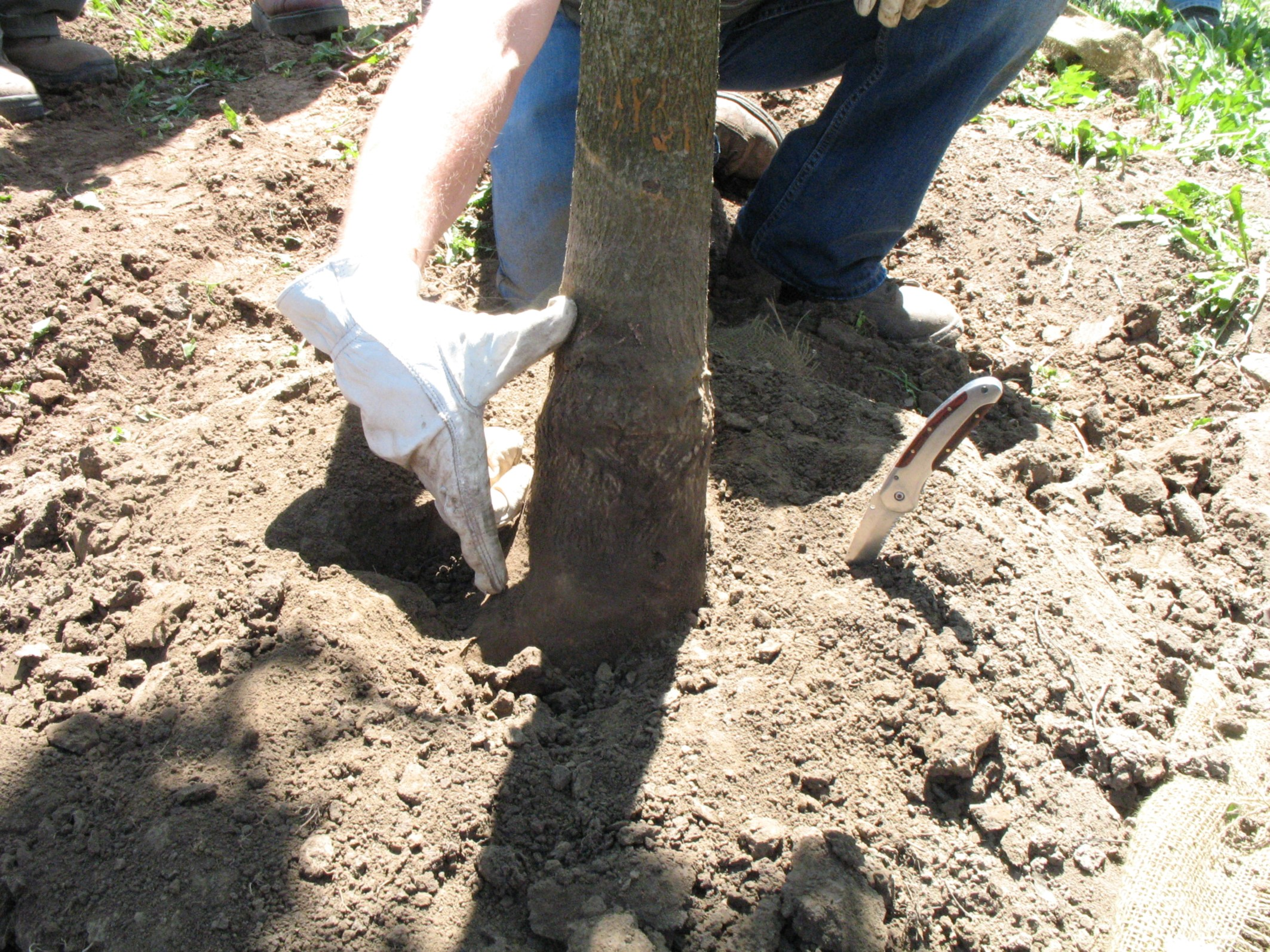 B&B tree after exposing buried root collar
