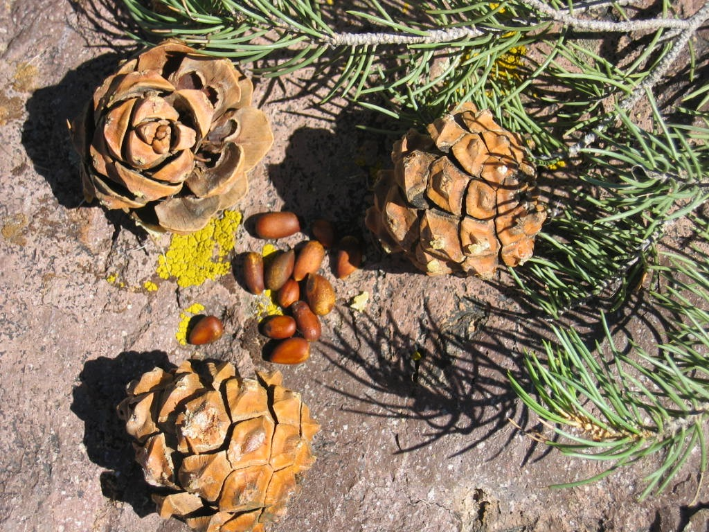 Pinyon branches and cones with pine nuts