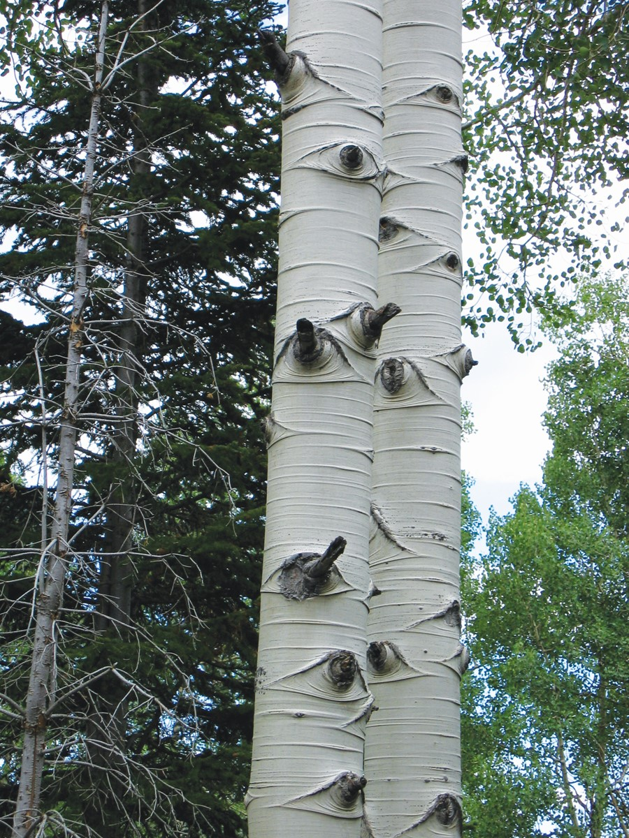 Aspen bark was valuable as both food and medicine
