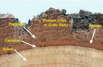Outer Tree Trunk Cross Section
