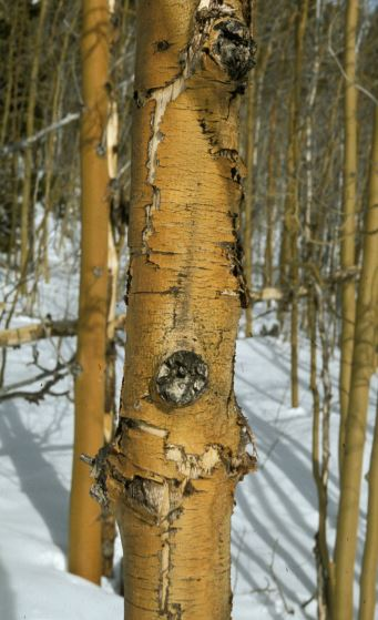 Sunscald Damage on Quaking Aspen