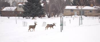 022 - Preventing Deer Damage to Your Trees and Shrubs