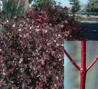 This red-osier dogwood is tolerant of soils with poor drainage.