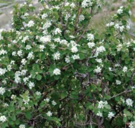 Utah serviceberry is very drought tolerant and well adapted to growing in sandy soils
