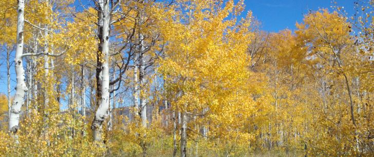 The Regeneration of Aspen Stands in Southern Utah