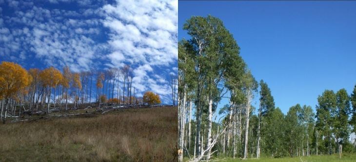 Stands in poor condition (left) are less likely to express a vigorous response to treatment than healthy stands (right). Stands in poor condition have dying overstory trees, open sparse foliage in the crowns, and a lack of young stems, whereas stands in good condition have substantial leaf area, limited mortality, understory aspen, and could also have multiple cohorts (heights) of aspen stems.