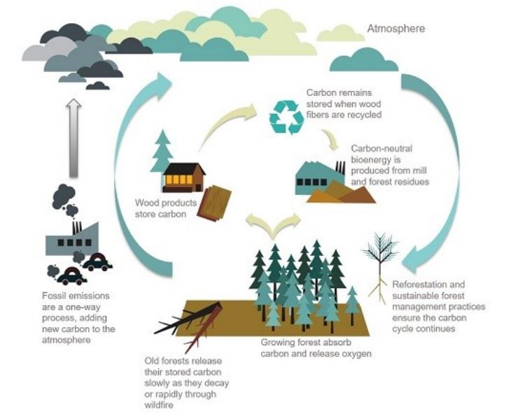 The many players in the carbon cycle and the role that growing forests play in storage of carbon. Photo Credit: European Confederation of Foresters, CEPF.