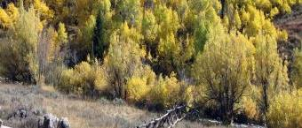 Aspen: How to Grow a Good Tree in a Bad Situation