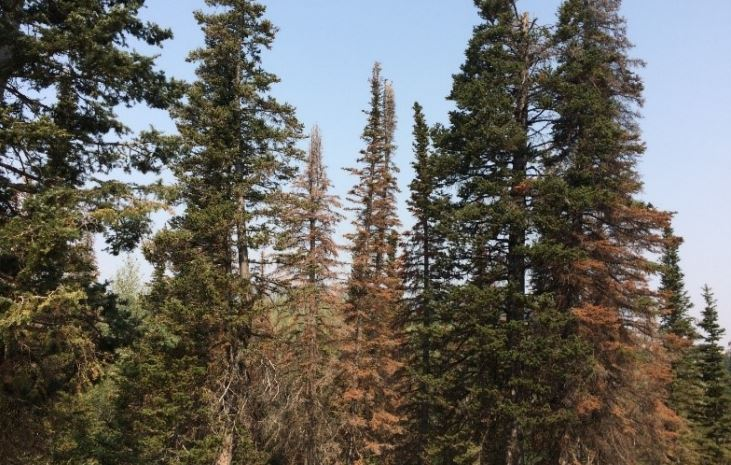 A New Utah Forest Insect Pest: Balsam Woolly Adelgid