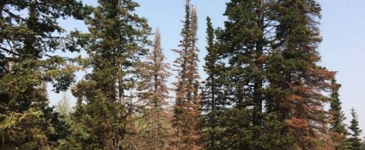 035 - A New Utah Forest Insect Pest: Balsam Woolly Adelgid