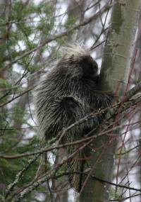 Identifying & Preventing Porcupine Damage to Trees