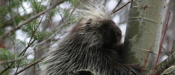038 - Identifying & Preventing Porcupine Damage to Trees