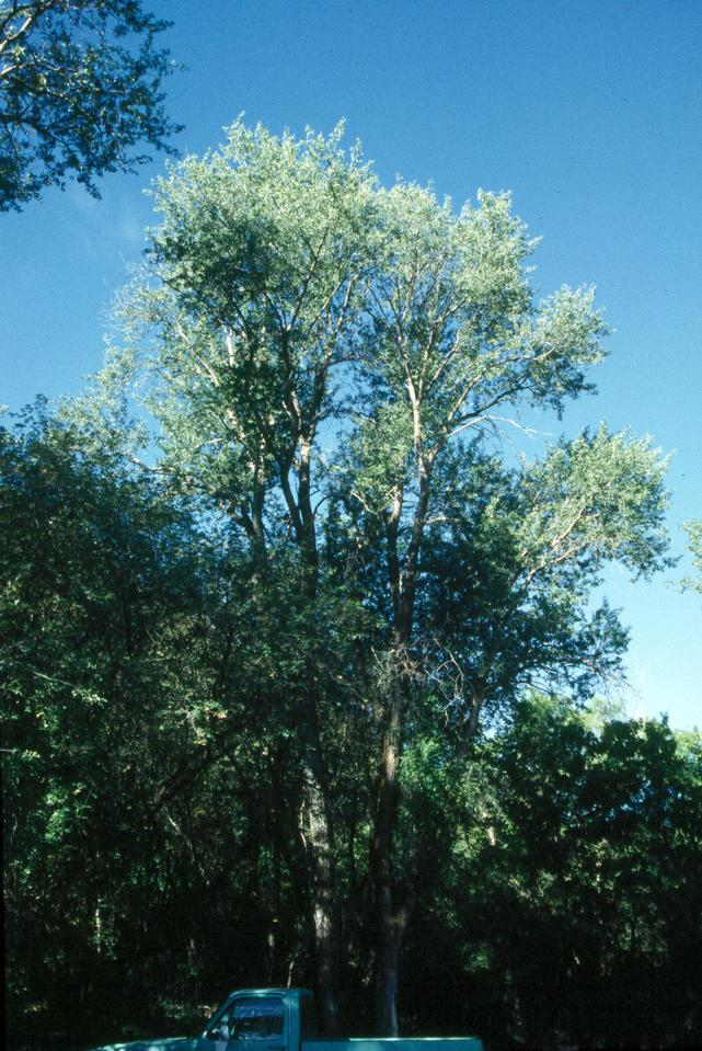 crack willow facts