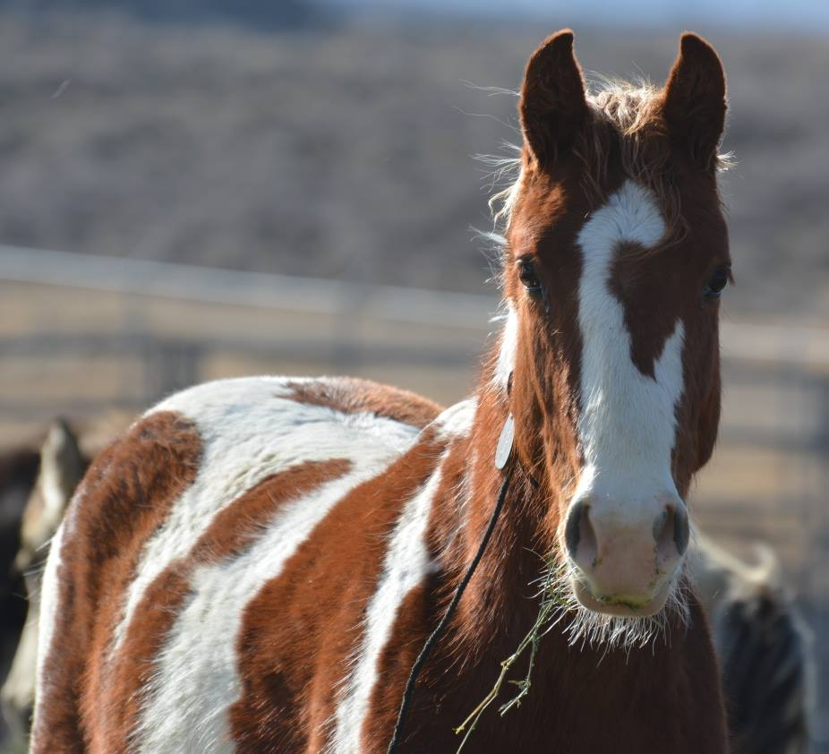 Utah State Professor testifies in Washington D.C. regarding wild horse and burro management